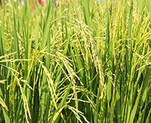 お米の品質管理を実施しています。